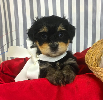 havanese puppies for sale in michigan Archives - Havanese Puppys