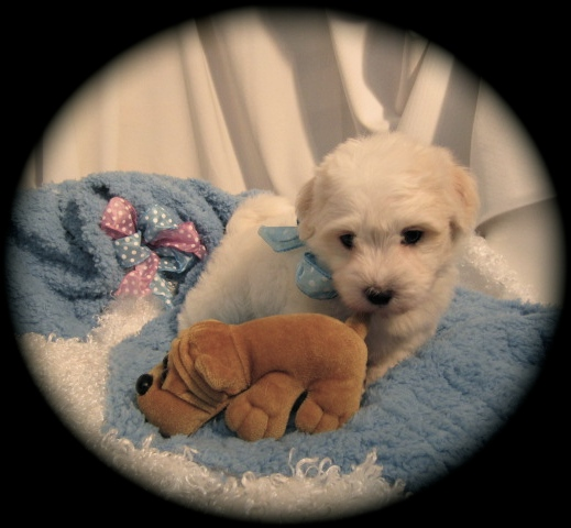 Havanese puppies for Adoption in Michigan