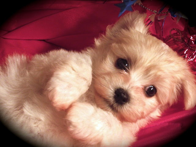 Havanese Pets For Homes