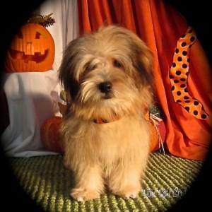 Emir Havanese puppy for adoption