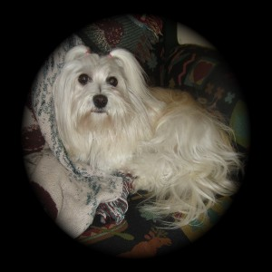Diva Havanese puppy for adoptiondiva