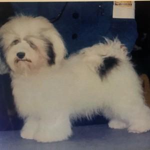 Rumor Havanese puppy for adoption