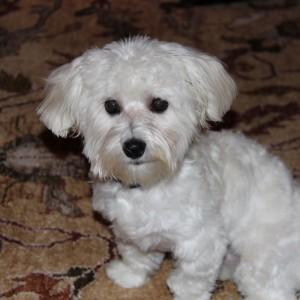 Riley Havanese Puppy