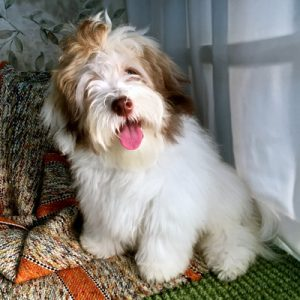 Havanese Puppy Needs Forever Home