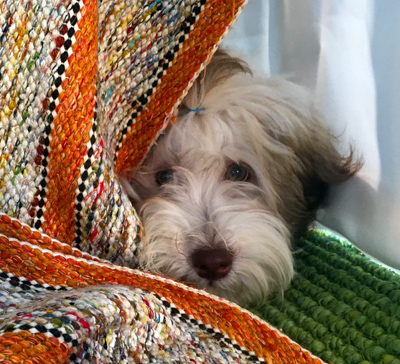 Havanese looking for forever home