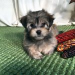 Calie: Havanese Puppy for Adoption