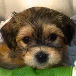 Havanese Puppy Poobear