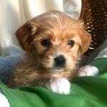 Havanese Puppy Scooter