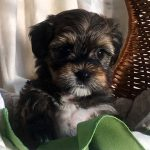 Havanese Puppy Tucker