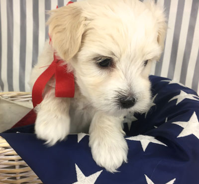 Mia Havanese for adoption