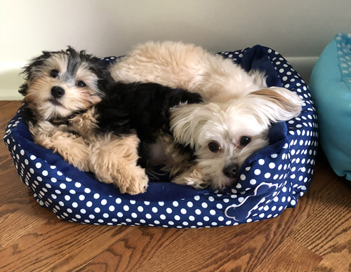 Winny and Daisy Havanese Puppies