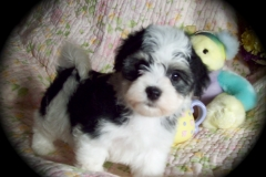 hava_havanese_puppy_set1_(1)