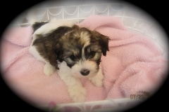 hava_havanese_puppy_set1_(10)