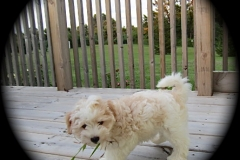 hava_havanese_puppy_set1_(12)