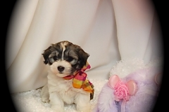 hava_havanese_puppy_set1_(14)