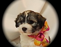 hava_havanese_puppy_set1_(15)