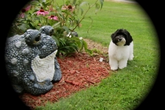 hava_havanese_puppy_set1_(17)