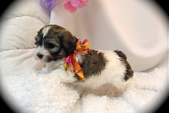hava_havanese_puppy_set1_(18)
