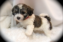 hava_havanese_puppy_set1_(19)