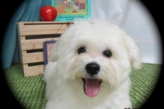 hava_havanese_puppy_set1_(2)