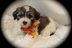 hava_havanese_puppy_set1_(20)