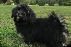 hava_havanese_puppy_set1_(8)