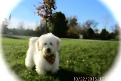 hava_havanese_puppy_set1_(9)