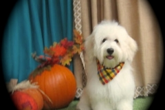 hava_havanese_puppy_set2_(12)
