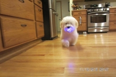 hava_havanese_puppy_set2_(14)