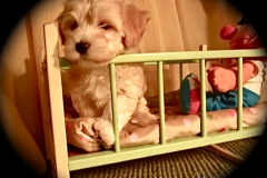 hava_havanese_puppy_set2_(15)