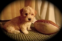 hava_havanese_puppy_set2_(16)