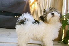 hava_havanese_puppy_set2_(17)