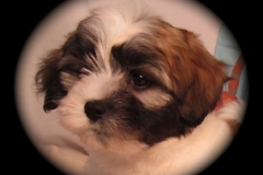 hava_havanese_puppy_set2_(2)