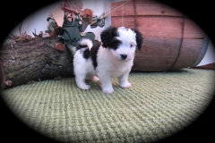 hava_havanese_puppy_set2_(3)
