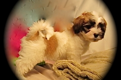 hava_havanese_puppy_set2_(4)
