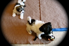 hava_havanese_puppy_set2_(5)