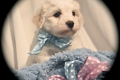hava_havanese_puppy_set2_(6)