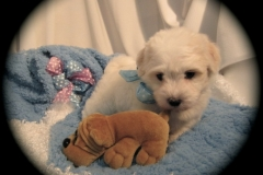hava_havanese_puppy_set2_(7)