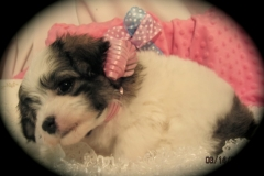 hava_havanese_puppy_set2_(8)