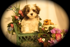 hava_havanese_puppy_set2_(9)