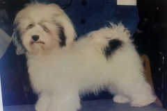 hava_havanese_puppy_set3_(1)