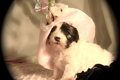 hava_havanese_puppy_set3_(12)