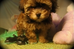 hava_havanese_puppy_set3_(13)