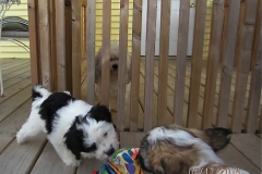 hava_havanese_puppy_set3_(16)