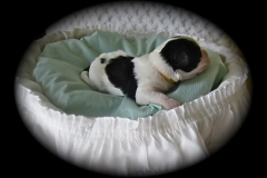 hava_havanese_puppy_set3_(17)