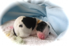 hava_havanese_puppy_set3_(18)