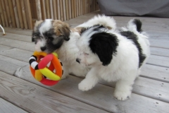 hava_havanese_puppy_set3_(19)