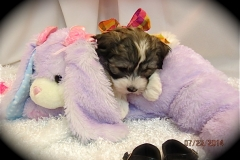 hava_havanese_puppy_set3_(21)