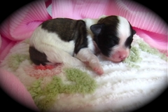hava_havanese_puppy_set3_(23)