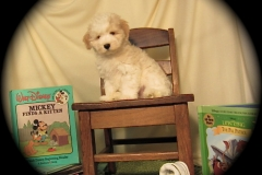 hava_havanese_puppy_set3_(24)